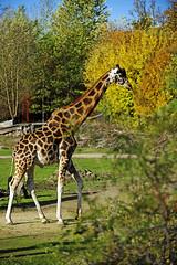 Rothschild Giraffe (Michael Döring) Tags: gelsenkirchen bismarck zoomerlebniswelt zoo rothschildgiraffe afs70200mm28g d800 michaeldöring