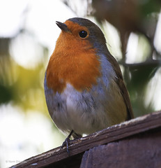 The Gardeners Friend (norm.edwards) Tags: robin love redbreast red birds song autumn winter beak chirping chirp eye eyes feathers fence perch headup head