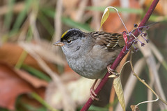 Golden-Crowned Sparrow (Zonotrichia atricapilla) (Tony Varela Photography) Tags: canon goldencrownedsparrow photographertonyvarela sparrow