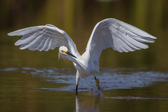 Fish Finder (gseloff) Tags: snowyegret bird feeding wings wildlife nature animal water horsepenbayou pasadena texas kayak gseloff