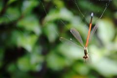 caught (BlueMtsGrandma) Tags: houseofanverschocolate latrobe tasmania dragonfly damselfly