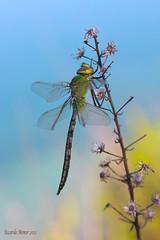 Anax imperator. Young male. (Ricardo Menor) Tags: odonatos odonata anisópteros libélulas dragonfly dragonflies airelibre iluminaciónnatural canon60d insecto macrofotografía anaximperator male youngmale macho machojoven lasdamas lasdamas2013