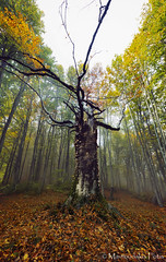 Decay (Mavroudakis Fotis) Tags: forest dreamscape autumn woods trees vivid foliage lush nature rays outdoors path road trunk colorful yellow greece europe destination traveling hikking mountain leaves