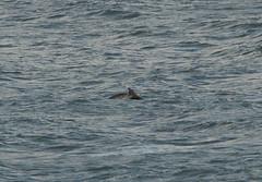 IMG_5383 (monika.carrie) Tags: monikacarrie wildlife scotland aberdeen dolphins dolphin cetacean mammals