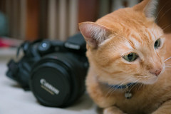 Canon Cat! 📷🐱 (stratman² (busy-taking care of Joey)) Tags: canonphotography eos7dmarkii efs1755mmf28isusm littlejoey orangecats oreengenesses naranja gato kitteh neko kucing comel tabby moggie domesticshorthair felinephotography iso6400
