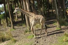 Giraffe (Steve Dawson.) Tags: giraffe giraffa animal johnnytall disneys animalkingdom park baylake orlando florida usa holiday canoneos50d canon eos 50d ef28135mmf3556isusm ef28135mm f3556 is usm 8th march 2018