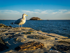 Hi there Mr Seagull (Alan Charles) Tags: 2018 ct connecticutshore madison seagull seascape afternoon beach latefall rockyshore sand shore sky