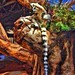 Toronto Zoo  Ontario - Canada - Ring-tailed lemur -  Island of Madagascar Habitant