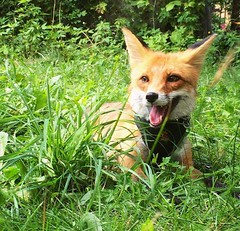 @everythingfox September 16 2018 at 01:03PM (hellfireassault) Tags: foxes everythingfox september 16 2018 0103pm fantasticfoxes november 19 0448am