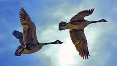 """Well, there goes Christmas Dinner"" !! (Bob's Digital Eye 2) Tags: 2017 action birdsinflight bobsdigitaleye canadageese canon canonefs55250mmf456isstm flight geese nature outdoor t3i waterfowl wildbirds wildlife flicker flickr bobsdigitaleye2"