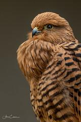 Lesser Kestrel (Ukfalc) Tags: lesserkestrel falconaumanni bird birdofprey raptor animal icbp internationalcentreforbirdsofprey newent gloucestershire portrait canon 7dii 70300l 2018