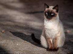 Kitten (Ignacio Ferre) Tags: gato cat felidae felino felid felines feliscatus felids feline kitten nikon mammal mamífero pet mascota animal ngc