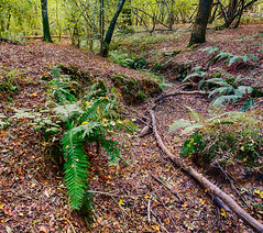 Green in the gully. (Through Bri`s Lens) Tags: sussex ashurst wiston ferns forrest woods trees brianspicer canon5dmk3 canon1635f4