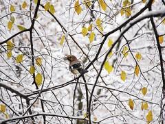 DSC_9842 (Etropolska) Tags: bird birds snow winter tree treemagic lovebirds birdslover nature naturelover natureandnothingelse mothernature naturespeaking