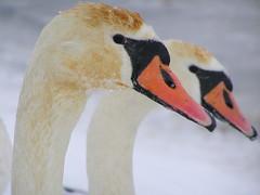 Swans of Frost (Agne Barde) Tags: swan winter frost ice bird waterbirds muteswan fauna cygnusolor