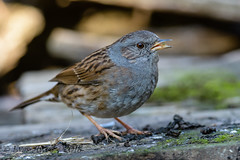 17112018-x3aDSC_4107 (Eyas Awad) Tags: passerascopaiola prunellamodularis eyasawad nikond800 nikond4 nikond500 sigma500f45 nikonafs300mmf4 tamron70200mmf28 bird birds birdwatching wildlife nature
