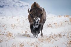 Snowy Bison (Jami Bollschweiler Photography) Tags: snowy snow bison photography utah wildife photographer black white color stormy day