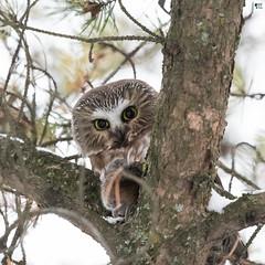 ''La petite et sa peluche!'' Petite-nyctale-Northern saw-whet owl (pascaleforest) Tags: oiseau bird animal passion nikon nature wild wildlife faune québec canada owl hibou automne