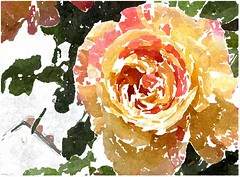 Mit Jesu fang ich an (amras_de) Tags: rose rosen ruža rosa ruže rozo roos arrosa ruusut rós rózsa rože rozes rozen roser róza trandafir vrtnica rossläktet gül blüte blume flor cvijet kvet blomst flower floro õis lore kukka fleur bláth virág blóm fiore flos žiedas zieds bloem blome kwiat floare ciuri flouer cvet blomma çiçek zeichnung dibuix kresba tegning drawing desegnajo dibujo piirustus dessin crtež rajz teikning disegno adumbratio zimejums tekening tegnekunst rysunek desenho desen risba teckning çizim