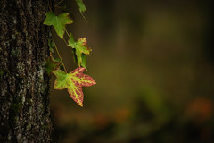 _IMG6885 (angel.doychinov) Tags: pentax k1 bokeh nature leafs forest