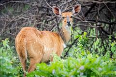 Never speak with your mouth full ;-) (Manon van der Lit) Tags: africa afrika uganda oeganda lakemburonationalpark lakemburo gamedrive safari wildlife bushbuck bosbok animal mammal gazelle eating