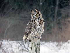 Oliver Great Horned Owl CRC IMG_2595 (Jennz World) Tags: ©jennifermlivick canadianraptorconservancy vittoria ontario canada greathornedowl owl bird raptor snow winter