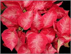 Red Poinsettia Plant .. (** Janets Photos **) Tags: uk hull nature plants flora flowers poinsettia