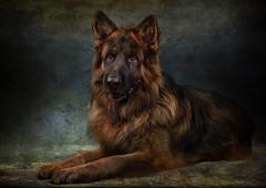 Dex (ToriAndrewsPhotography) Tags: german shepherd alsatian dog portrait pet winter photography andrews tori