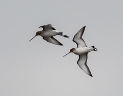 Oare  Black-tailed Godwits