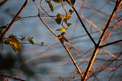 Evening Light On The Lakeside Branches (filmcrazy1014) Tags: nikon nature wildlife outdoor water lake sunset evening light wood branch treebranch bokeh magical bluewater abstract yellow yellowlight orange leave leaves blur background green red deepcolors color colorful black