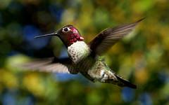 Anna's Hummingbird - ♂ (Calypte anna) (J.Thomas.Barnes) Tags: