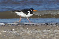 K32P7533a Oystercatcher, Titchwell Beach, February 2019 (bobchappell55) Tags: titchwell marsh norfolk wild bird wildlife nature wader oystercatcher haematopusostralegus