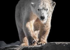 Polar Bear Tatqiq (helenehoffman) Tags: arctic bear wildlife conservationstatusvulnerable sandiegozoo mammal fish ursusmaritimus ursidae tatqiq polarbear polarbearplunge marinemammal animal
