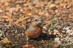 Common Crossbill. Piquituerto común (Loxia curvirostra) M (Abasolo2011) Tags: 2019 piquituerto común loxia curvirostra common croossbill