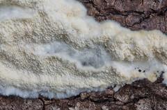Haavatarjak; Oxyporus corticola; kuorikääpä (urmas ojango) Tags: seened fungi hymenochaetales taelikulaadsed schizoporaceae oxyporus tarjak oxyporuscorticola haavatarjak kuorikääpä