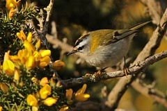 The firecrest (Regulus ignicapilla) (GrahamParryWildlife) Tags: firecrest dungeness rspb kent uk tiny small grahamparrywildlife crest yellow orange sigma 150600 sport canon 7d mk2