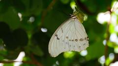 White Morpho (Morpho polyphermus) (Pablo L Ruiz) Tags: butterflyworld butterflies