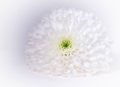 White on White Flower (www.higbyphotography.com) Tags: cindyhigby blooms whiteonwhite macromondays flower closeup blooming macrophotography flowers macromonday white