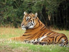 Sumatran Tiger (meeko_) Tags: sumatran tiger sumatrantiger animals maharajah jungle trek maharajahjungletrek attraction asia disneys animal kingdom disneysanimalkingdom themepark walt disney world waltdisneyworld florida