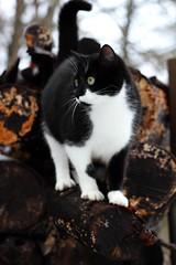 Cat (Mason Busha) Tags: cat log pose black white