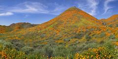 Super Bloom Lake Elsinore California (swissuki) Tags: california ca super bloom lake elsinor walkercanyon poppy