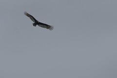 IMG_4447 (armadil) Tags: prairie ranchocorraldetierra bird birds vulture turkeyvulture flying