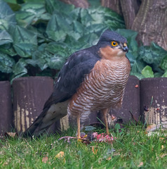 Garden male Sparrowhawk