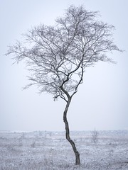 Lonely Dutch Tree (Sander Grefte) Tags: ginkesleheide le abstract berken birch bomen boom fotografie landscape landschap longexposure mist nikond7200 photography sneeuw snow tree trees winter