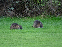 Myocastor coypus (M.L Photographie) Tags: animal animals nature wild wildlife wildlifephoto wildlifephotography france normandie normandy eure ragondin myocastor mammifère sony dschx400v