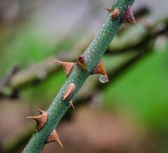 Pokey. (Omygodtom) Tags: tamron90mm tamron d7000 rain macro bokeh outside thorn plant usgs flickr