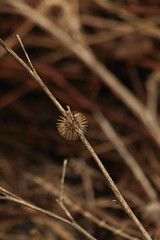 Burr (historygradguy (jobhunting)) Tags: easton ny newyork upstate washingtoncounty plant burr