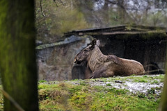 Elch (Michael Döring) Tags: gelsenkirchen bismarck zoomerlebniswelt zoo elch moose afs200mm20gvrii d850 michaeldöring