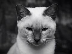 PB110659 (Vladimir V. Samoylov) Tags: 45mm animals cat e5markii m43 micro43 microfourthirdsmicro43 olympus olympusm45mmf18 omd μ43