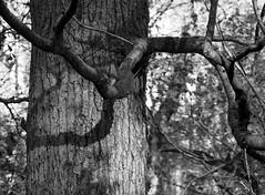 Tree and Shadow (Stanley Burn Woods) (Jonathan Carr) Tags: blackandwhite bw monochrome mediumformat stanleyburnwoods mamiya645e ruralnortheast tree shadow woodland landscape